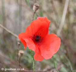 Poppy growing on the Somme battlefield in northern France.